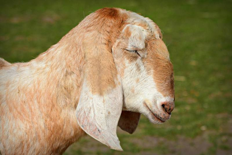 Reasons why goats are coughing
