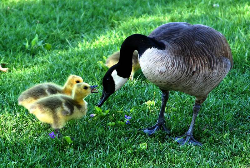 Things you can Feed Baby Geese