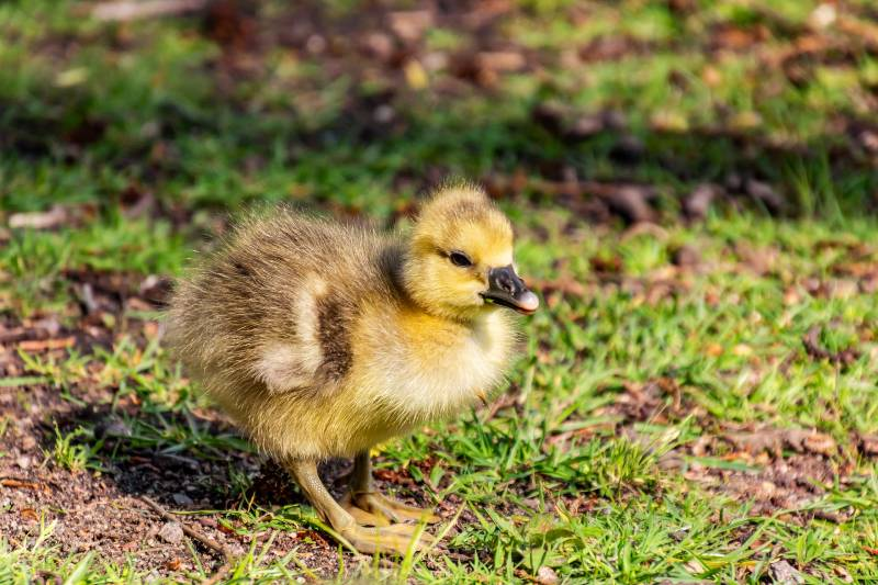 What to Feed Baby Geese