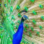 Why Do Peacocks Spread Their Feathers - Top Reasons