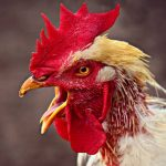Why Do Roosters Crow? - Top Reasons