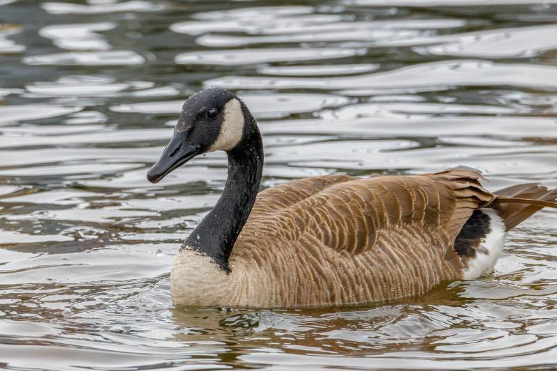 Why are Canada Geese Protected