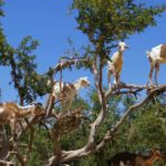 Reasons Why Goats Climb Trees - Some Are Surprising!