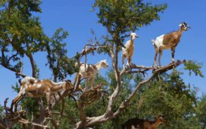 Why do Goats Climb Trees