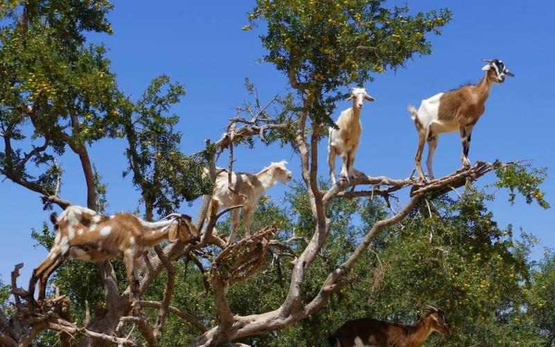 Why do Goats Climb Trees