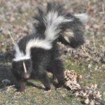 Why Do Skunks Spray? - Top Reasons