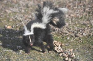 Why do Skunks Spray?