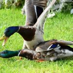 Why Ducks Attack Each Other? - True Reasons