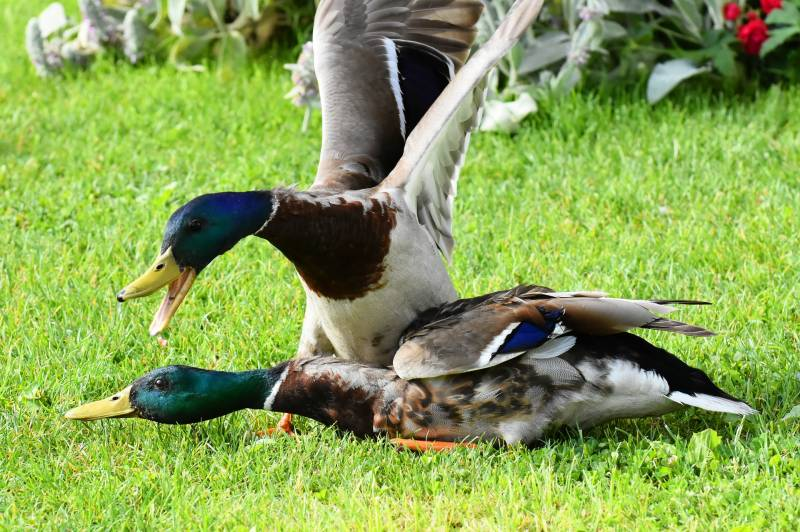 Why do ducks attack each other
