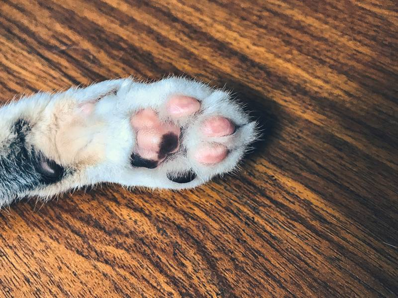 Cat paw pads turning black – why