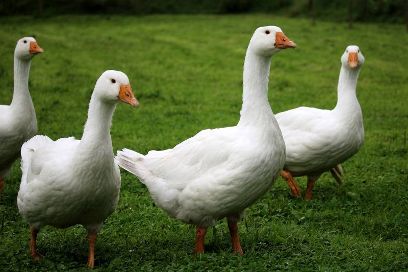 Geese hissing Why do geese hiss