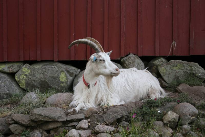 My goat is sick and won't get up reasons