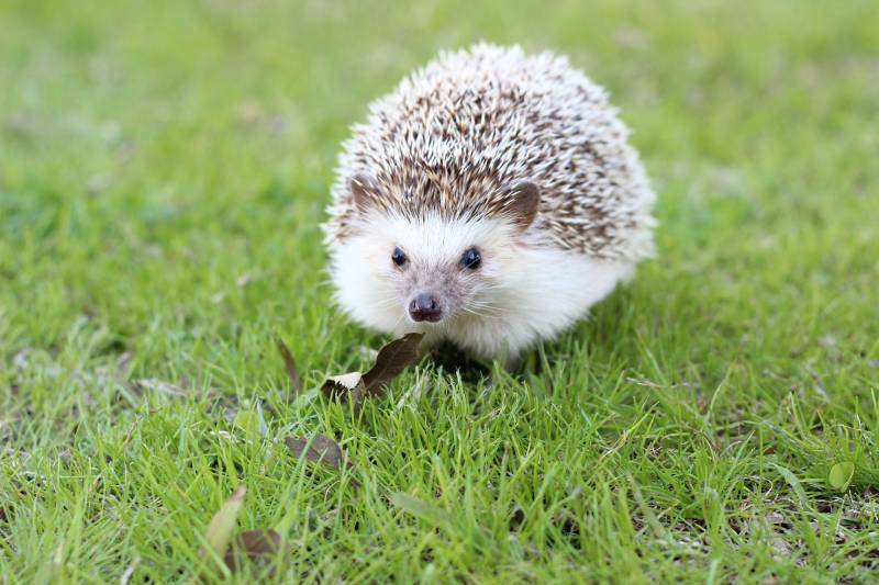 Reasons why hedgehogs are illegal in some States