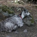 Sick Goat Won't Get Up - 6 Reasons You Need To Know
