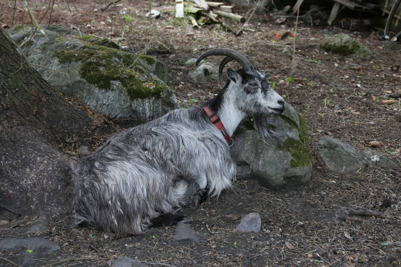 Sick goat won't get up Why