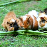 Why Do Guinea Pigs Poop So Much