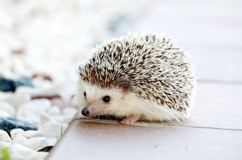 Why are Hedgehogs illegal in some States