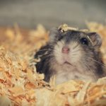 My Hamster Is Making A Clicking Noise – Why?