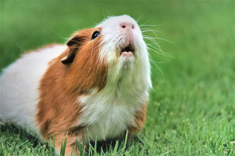 Reaons for guinea pig noises