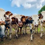 Why Do Cows Stare At You? - 6 Reasons