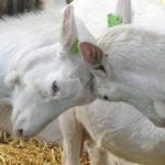 Why Do Goats Headbutt? - All Reasons
