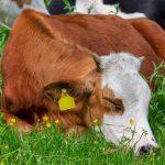 How Do Cows Sleep? – Cows' Sleep Patterns Explained