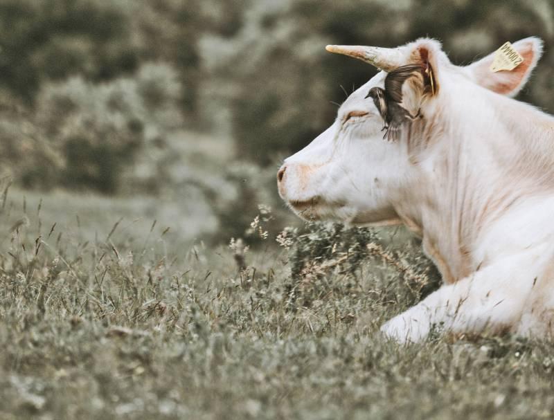 How do Cows Sleep Cows Sleeping Habits