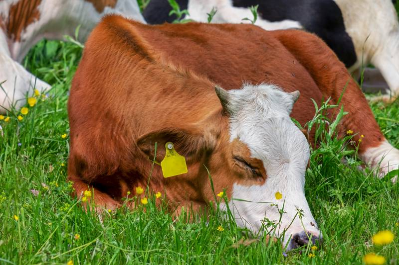 How do Cows Sleep