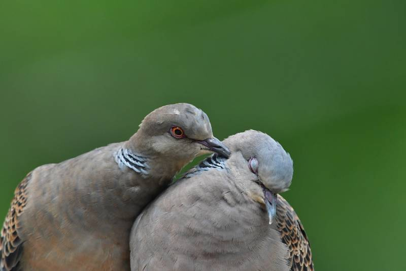 Reasons Why Do Doves Coo