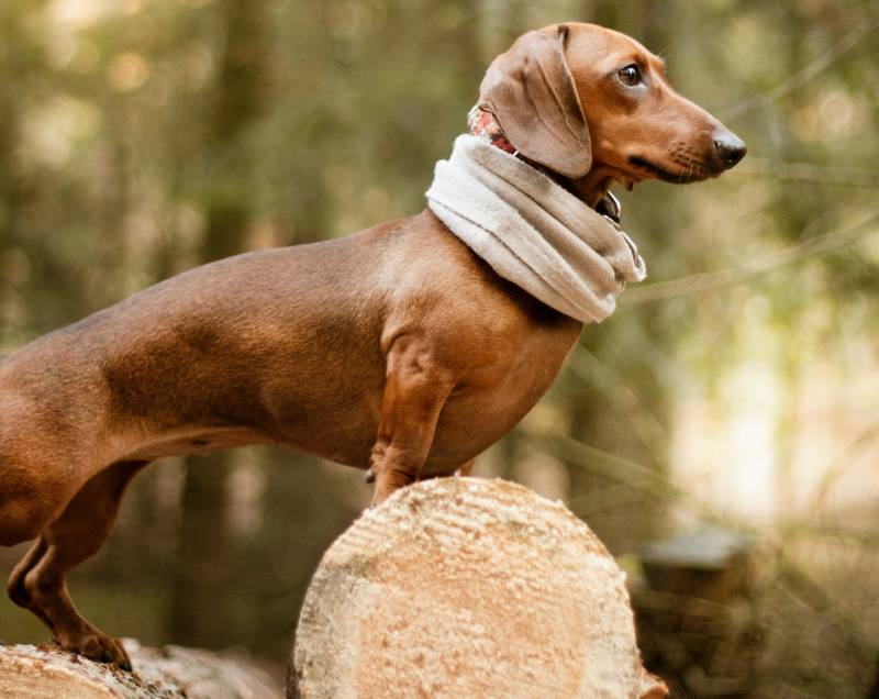 Roached back in dogs causes and how to help