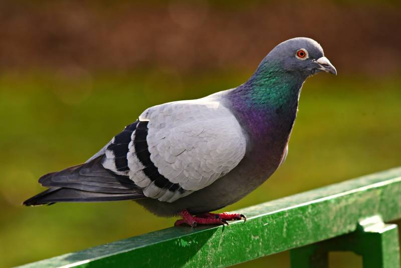 Why Do Doves Coo