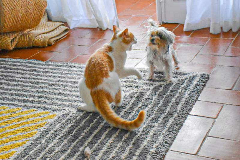 Why do cats hiss at dogs?
