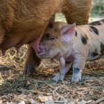 Why Do Pigs Eat Their Babies?