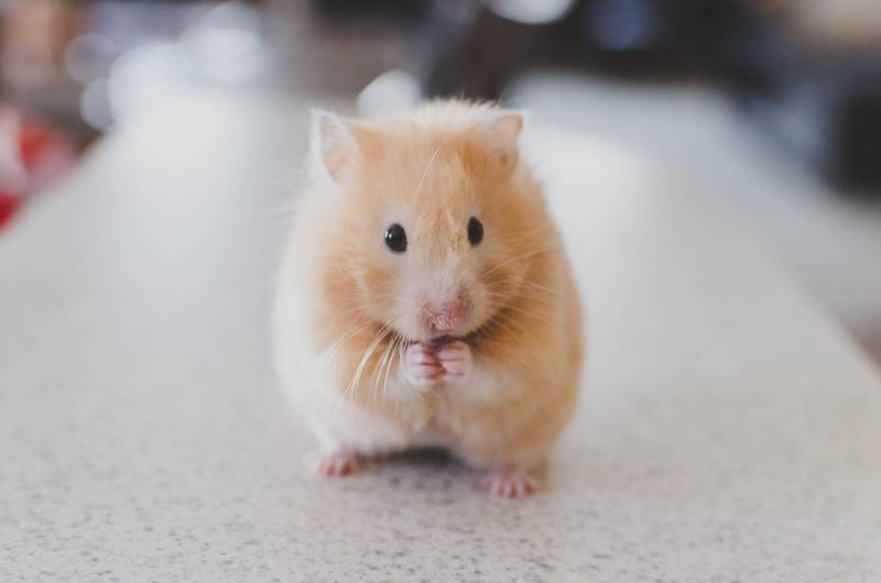 How smart are hamsters?