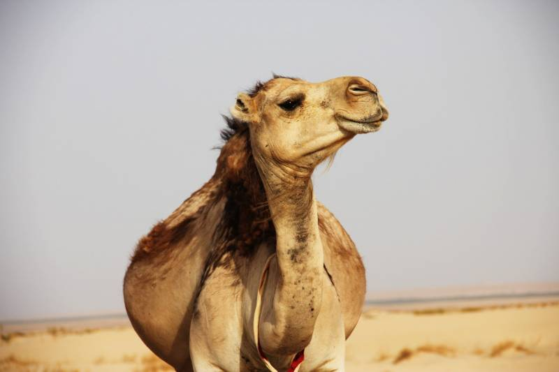 Reasons why camels spit