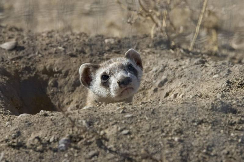 Things that black footed ferrets eat