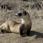 What Do Black-Footed Ferrets Eat? - Interesting Facts