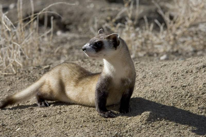 What do black footed ferrets eat