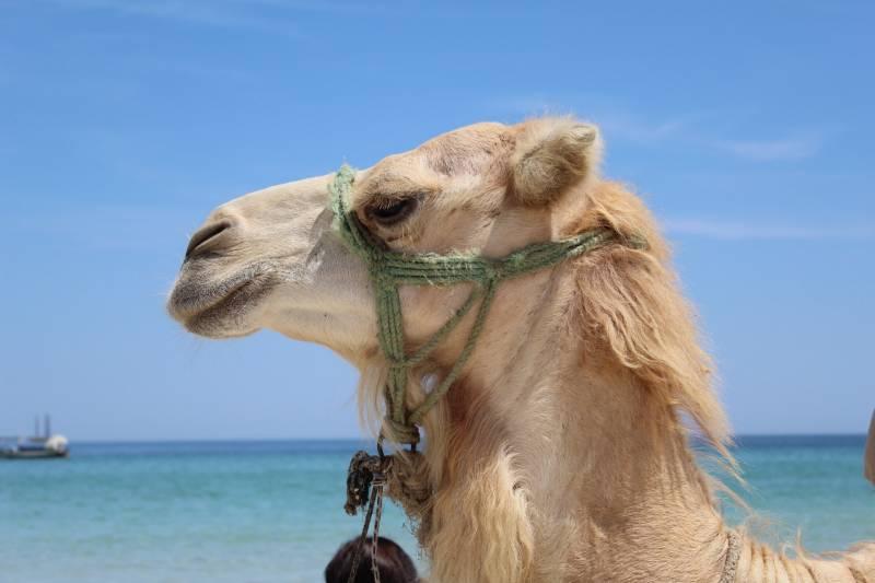 Why do camels spit