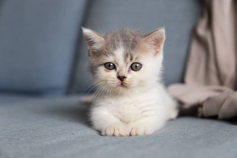 What can I put on my kitten's sore bum